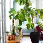 Fiddle Leaf Fig Tree Love!