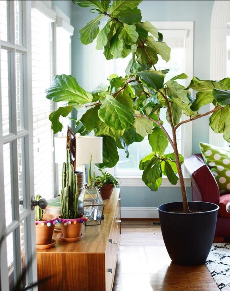 Fig-tree-decor-inspiration